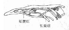 指屈肌腱的腱纽
