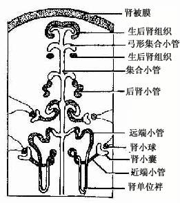 集合小管与肾单位的发生