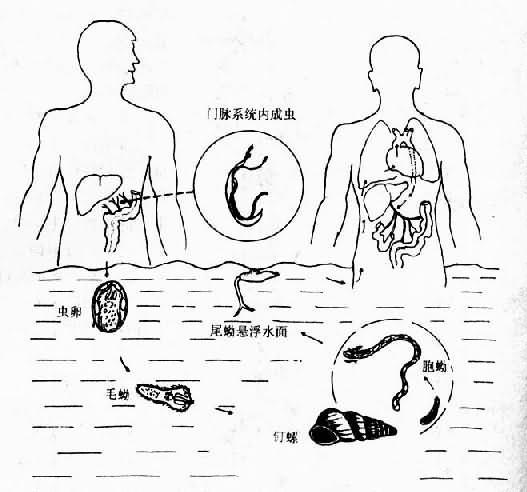 日本血吸虫生活史