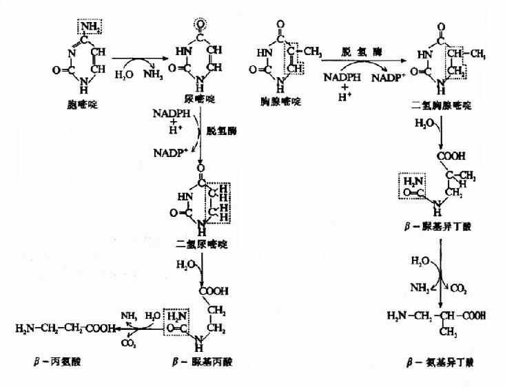 嘧啶核苷酸的分解代谢