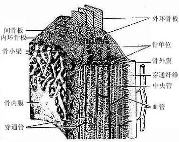长骨骨干结构模式图