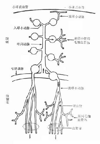 肾脏微循环结构