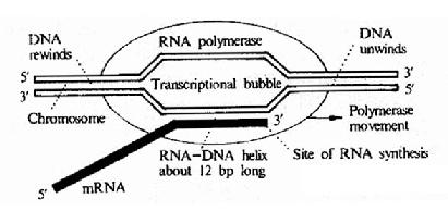 Diagrammatic representation of DNA transcription by E.coli RNApolymerase.The polymerase unwinds a stretch of DNA about 17base pairs in lengthforming a transcriptional bubble thatprogresses along thd DNA.The DNA has tounwind ahead of the polymerase and rewind behind it .The newly formed RNA formsa RNA-DNA double helix about 12 bae pairs long.