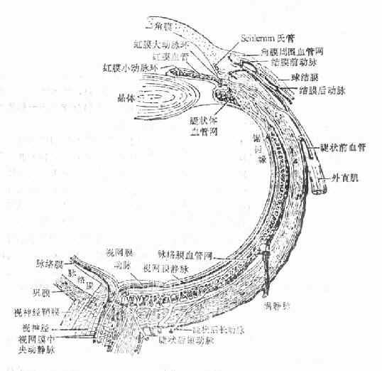 眼球血管分布