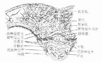 经过第4胸椎横切面,表示脊神经后支的分布