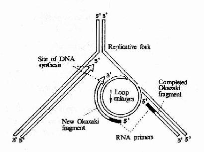 DNA 聚合酶Ⅲ催化先导链和随从的合成