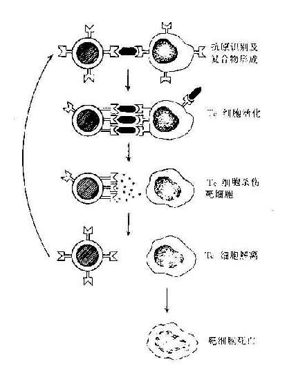 T细胞杀伤靶细胞过程