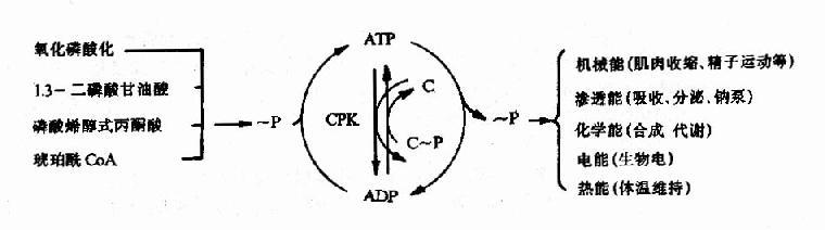 ATP的生成、储存和利用总结示意图
