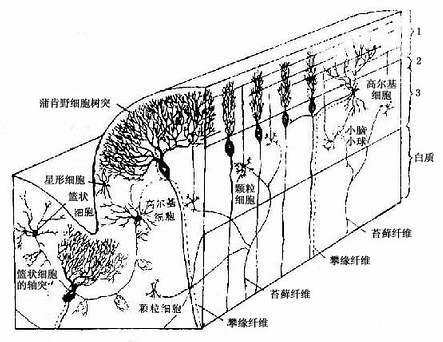 小脑皮质结构图解