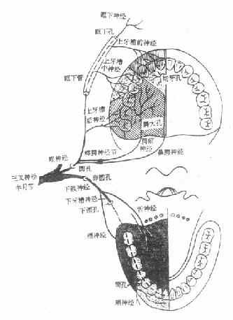 三叉神经在牙齿、牙周及口腔分布示意图