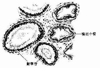 输出小管和附睾管