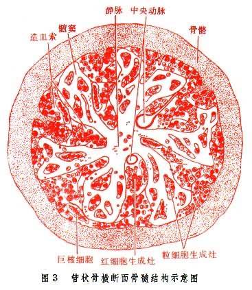 管状骨横断面骨髓结构示意图