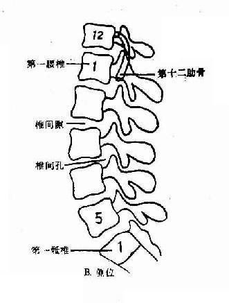 正常腰椎X线解剖