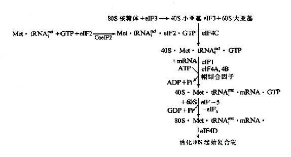 真核细胞翻译起始复合物的形成