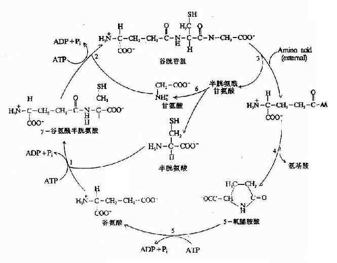 γ-谷氨酰基循环