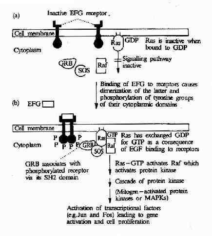 EGF受体介导的信号转导过程