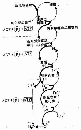 黄素蛋白和醌在电子传递链中的作用
