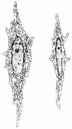 成纤维细胞(左)和纤维细胞(右)超微结构模式图