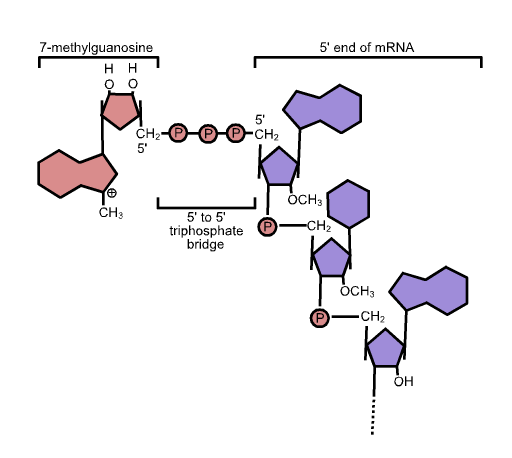 File:5' cap structure.png