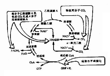 三羧酸循环中还原型辅酶和CO2的生成