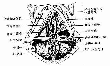 会阴的组成与骨盆底浅层肌肉