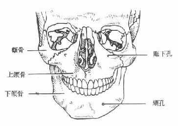 颌面部骨骼正面观
