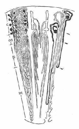 叶间弓形静脉