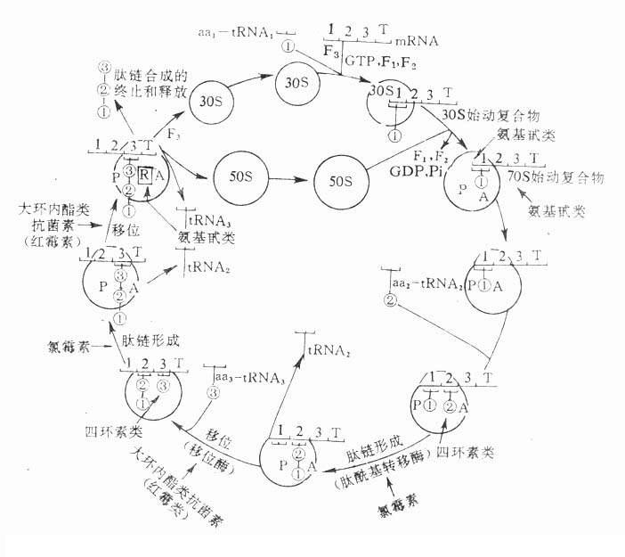 核蛋白体循环及有关抗生素作用部位图解