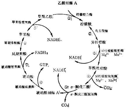 三羧酸循环