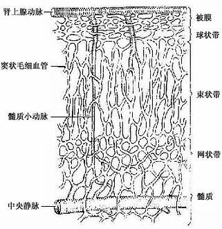肾上腺的血管分布