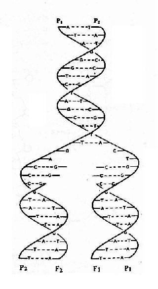 双螺旋DNA半保留复制过程