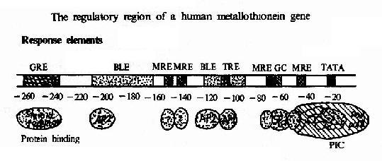 人金属硫蛋白基因的调控区