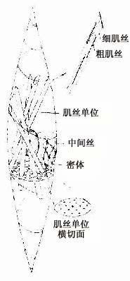 平滑肌纤维超微结构图解