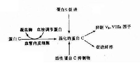 蛋白C、蛋白S及活性蛋白C抑制物的相互关系