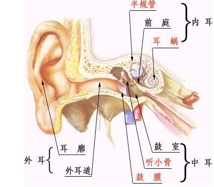 耳的结构.jpg