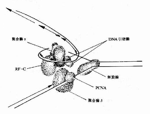 真核生物DNA复制叉结构示意图