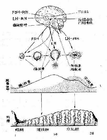 下丘腦-垂體-卵巢軸相互間關係示意圖
