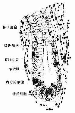 小肠腺模式图