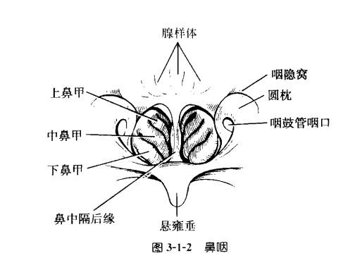 咽扁桃体.jpg