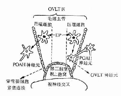 OVLT在发热病学中的作用示意图
