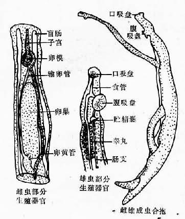 日本血吸虫成虫