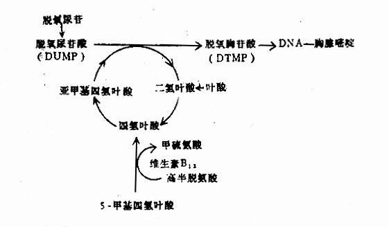 叶酸与维生素B12代谢的相互关系及对DNA合成的作用
