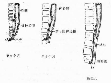 脊髓發育與脊柱的關係