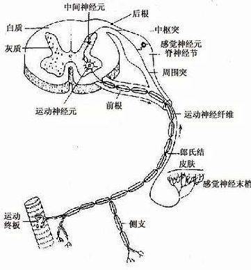 脊髓及脊神经,示三种神经元的关系
