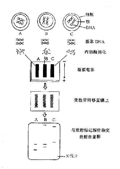 用RFLP进行组织定型比较三个标本的组织定型