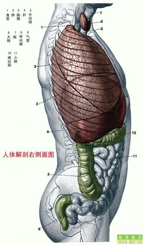 人体解剖右侧面图