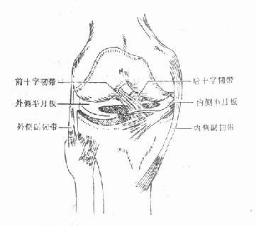 膝关节韧带及半月板结构