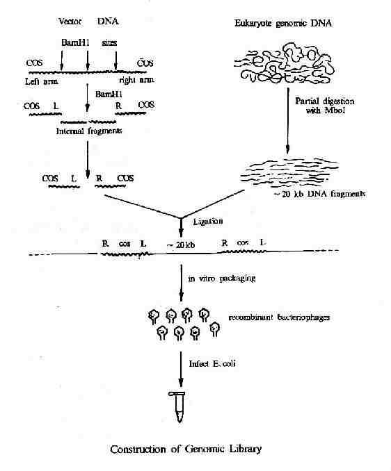 基因组DNA文库的构建