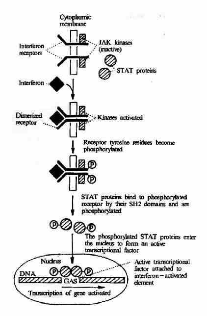 γ-干扰素受体介导的信号转导过程