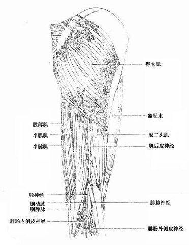 臀部股后部浅层肌、血管及神经
